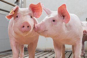 Giá lợn hơi hôm nay 17/9: Điều chỉnh 1.000 - 2.000 đồng/kg tại một số tỉnh thành trên cả nước