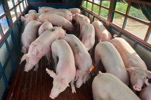 Giá lợn hơi hôm nay 26/10: Tăng mạnh 5.000 - 12.000 đồng/kg trên toàn quốc