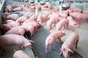 Giá lợn hơi hôm nay 18/8: Điều chỉnh từ 1.000 đồng/kg đến 3.000 đồng/kg  tại một số địa phương