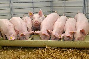 Giá lợn hơi hôm nay 21/8: Miền Bắc tăng nhẹ