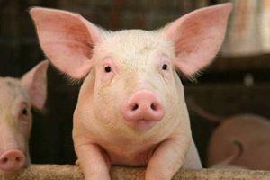 Giá lợn hơi hôm nay 29/7: Giảm nhẹ 1.000 đồng/kg tại một số địa phương ở hai miền Bắc - Nam