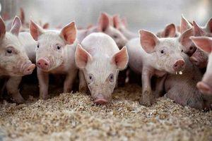 Giá lợn hơi hôm nay 17/8: Tăng nhẹ tại khu vực miền Bắc và miền Nam