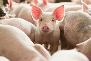 Giá lợn hơi hôm nay 30/8: Biến động trái chiều tại một số địa phương