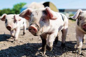 Giá lợn hơi hôm nay 10/6: Điều chỉnh giảm nhẹ ở cả ba miền