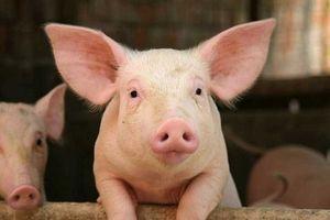 Giá lợn hơi hôm nay 14/8: Tăng mạnh 1.000 - 3.000 đ/kg ở khu vực miền Bắc