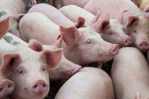 Giá lợn hơi hôm nay 19/9: Có tiếp tục biến động trong tuần tới?