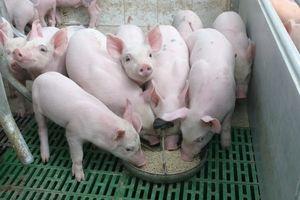 Giá lợn hơi hôm nay 28/10: Tiếp đà tăng mạnh
