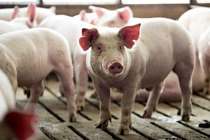 Giá lợn hơi hôm nay 6/8: Đồng loạt giảm giá