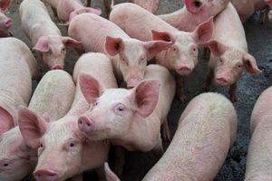 Giá lợn hơi hôm nay 15/9: Tiếp đà giảm ở một vài địa phương trên cả nước