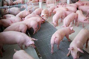 Giá lợn hơi hôm nay 24/9: Giảm nhẹ 1.000 đồng/kg tại miền Bắc và miền Trung, Tây Nguyên