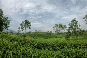 Ngành chè Tuyên Quang nỗ lực vượt qua đại dịch