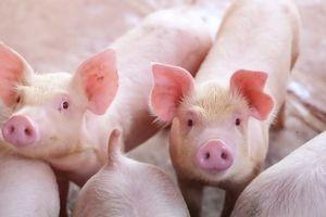 Giá lợn hơi hôm nay 10/7: Giảm rải rác ở một số tỉnh miền Nam