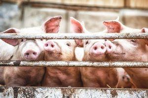 Giá lợn hơi hôm nay 25/8: Giảm nhẹ 1.000 đồng/kg ở hai miền Bắc - Nam