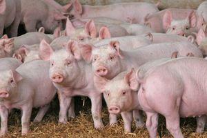 Giá lợn hơi hôm nay 2/9: Bất ngờ điều chỉnh mạnh 1.000 - 5.000 đồng/kg