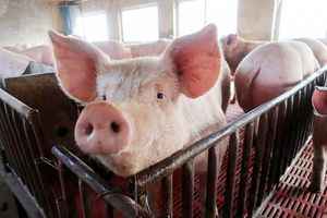 Giá lợn hơi hôm nay 27/7: Điều chỉnh tăng nhẹ trên cả nước