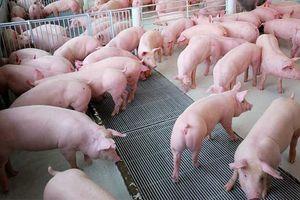 Giá lợn hơi hôm nay 5/10: Giảm sâu từ 1.000 - 6.000 đồng/kg