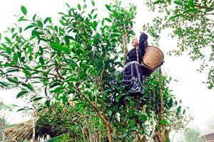 Chè Shan tuyết Na Hang (Tuyên Quang): Nâng tầm giá trị