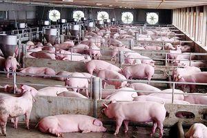 Giá lợn hơi hôm nay 15/8: Đà tăng sẽ tiếp tục duy trì trong tuần tới?