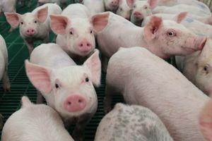 Giá lợn hơi hôm nay 9/8: Biến động rải rác ở cả ba miền