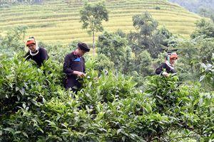 Hà Giang: Nỗ lực đưa ngành chè vượt khó qua đại dịch