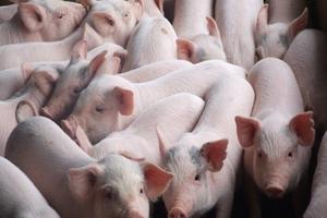 Chăn nuôi Mitraco báo lãi 7,5 tỷ đồng 2 tháng đầu năm