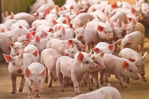 Giá lợn hơi hôm nay 20/9: Biến động nhẹ tại khu vực miền Trung, Tây Nguyên