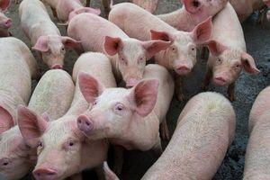 Giá lợn hơi hôm nay 4/9: Miền Trung, Tây Nguyên giảm nhẹ 1.000 đồng/kg tại một vài nơi
