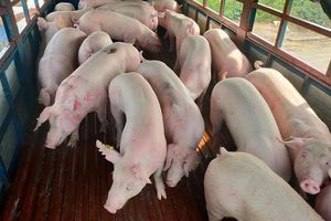 Giá lợn hơi hôm nay 29/8: Trong tuần tới, thị trường có tiếp tục điều chỉnh?