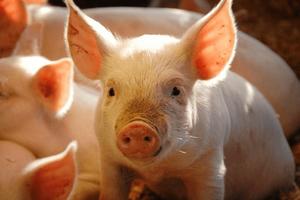 Giá lợn hơi hôm nay 2/8: Giảm nhẹ 1.000 đ/kg tại miền Trung, Tây Nguyên