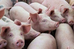 Giá lợn hơi hôm nay 6/9: Miền Nam giảm rải rác từ 1.000 đồng/kg đến 2.000 đồng/kg ở một vài nơi
