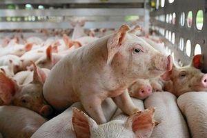 Giá lợn hơi hôm nay 15/7: giảm rải rác trên cả nước