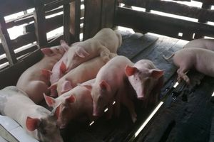 Giá lợn hơi hôm nay 18/7: Tiếp tục tăng - giảm trái chiều trong tuần tới?