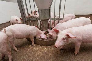 Giá lợn hơi hôm nay 23/8: Miền Trung, Tây Nguyên tăng nhẹ 1.000 đồng/kg
