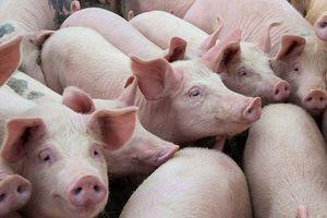 Giá lợn hơi hôm nay 1/7: Tiếp đà giảm sâu