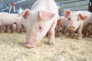 Giá lợn hơi hôm nay 4/10: Tiếp tục giảm rải rác