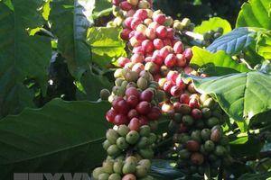 Thị trường nông sản tuần qua: Lúa gạo, cà phê tiếp tục đà tăng giá