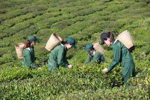 Du lịch sinh thái kết hợp với trồng chè: Hướng đi mới của Vinatea?