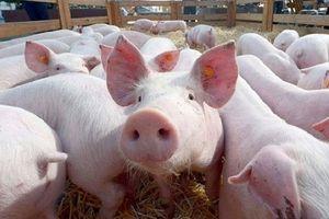 Giá lợn hơi hôm nay 12/9: Có tiếp tục biến động trong tuần tới?