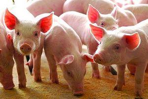 Giá lợn hơi hôm nay 11/7: Giảm sâu trên diện rộng