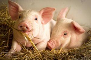 Giá lợn hơi hôm nay 12/8: Khu vực phía Nam tăng nhẹ 1.000 đ/kg