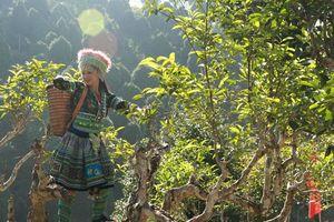 Yên Bái: Hướng đi mới cho vùng chè Vặn Chấn trong mùa dịch