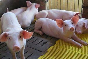 Giá lợn hơi hôm nay 11/9: Tiếp tục giảm 1.000 - 2.000 đồng/kg ở khu vực phía Nam