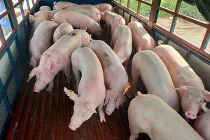 Giá lợn hơi hôm nay 26/8: Biến động trái chiều từ 1.000 - 4.000 đồng/kg