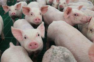 Giá lợn hơi hôm nay 28/8: Hai miền Bắc - Nam giảm nhẹ 1.000 - 2.000 đồng/kg tại một số địa phương