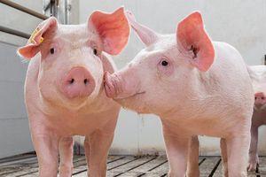 Giá lợn hơi hôm nay 18/6: Giảm nhẹ từ 1.000- 2.000 đồng/kg tại khu vực miền Nam