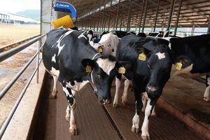 Vinamilk nhập khẩu hơn 2.100 bò sữa HF thuần chủng từ Mỹ về trang trại mới tại Quảng Ngãi