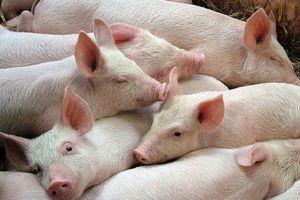 Giá lợn hơi hôm nay 13/9: Giảm nhẹ ở hai miền Bắc, Nam