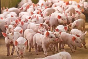 Giá lợn hơi hôm nay 8/6: Giảm nhẹ tại một số địa phương