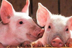 Giá lợn hơi hôm nay 24/6: Điều chỉnh giảm rải rác tại ba miền