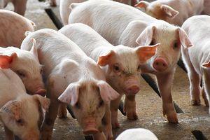 Giá lợn hơi hôm nay 19/7: Điều chỉnh giảm trên phạm vi cả nước